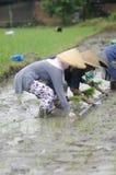 ARBETARE FÖR FÄLT FÖR ARBETE FÖR INDONESIEN KVINNAJORDBRUK Royaltyfria Foton