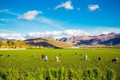 Arbetare för jordgubbefältjordbruk fotografering för bildbyråer