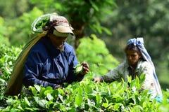 Arbetare för kvinnateträdgård plockar te arkivbilder