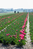 Arbetare i de holländska blommafälten Arkivbild
