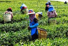 Arbetare i ett grönt fält som skördar det gröna teet Arkivbild