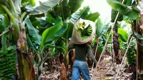 Arbetare i grupper för banan för banankoloni bärande stock video