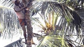 Arbetare i indisk lövverk för turbansnittpalmträd med kniven stock video