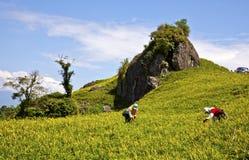 Arbetare i skördliljor i Hualien, Taiwan Royaltyfria Foton