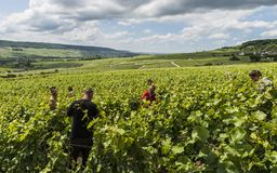 Arbetare i vingård i Champagne Arkivbilder