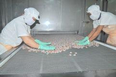 Arbetare ordnar räkor i en linje till den frysa maskinen i en havs- fabrik i Vietnam Arkivbild