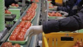 Arbetare på linje av inpackning av nya tomater i magasin fodrar inom fabrik lager videofilmer