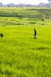 Arbetare på risfält, Bali, Indonesien Arkivfoton