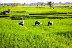 Arbetare på risfält, Bali, Indonesien Arkivbild