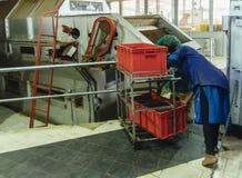 Arbetare på tefabriken Arkivbild