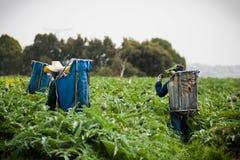 Arbetare skördar deras jordbruksprodukterkronärtskocka royaltyfri fotografi