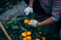 Arbetare som behandlar persimonet Arkivbild