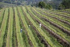 Arbetare som beskär vindruvor i vingård i Napa Va Arkivbild