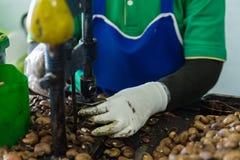 Arbetare som knäcker kasjupeelen vid maskinen royaltyfri bild
