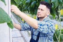 Arbetare som kontrollerar system i växthus arkivbilder