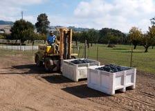 Arbetare som manning gaffeltrucken med druvor på vinodlingen Arkivbilder