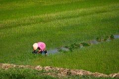 Arbetare som planterar rice på ett paddyfält i Vietnam Royaltyfri Bild