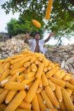Arbetare som samlar havreskörden, Thakurgaon, Bangladesh Royaltyfria Bilder