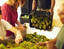 Arbetare som sorterar druvor på transportbandet på vinodlingen royaltyfria foton