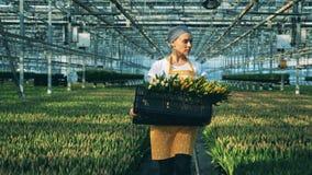 Arbetaren bär en korg mycket av tulpan, medan gå i ett växthus med blommor arkivfilmer