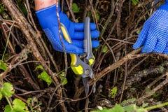 Arbetaren beskär växtfilialer, trädgårdsmästare är glesnande filialer för buske för röd vinbär royaltyfri bild