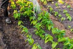 Arbetaren bevattnar bönaväxter i trädgården arkivbilder