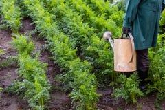 Arbetaren bevattnar morötter i trädgården arkivbilder