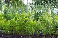Arbetaren bevattnar morotväxter i trädgården arkivbilder
