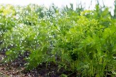 Arbetaren bevattnar morotväxter i trädgården royaltyfri fotografi