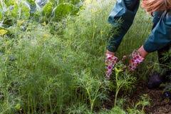 Arbetaren skördar dill i trädgården arkivbilder