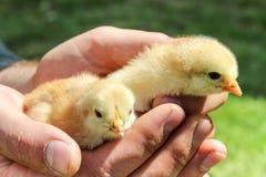 Arbetarman som rymmer nyfödda fågelungar Royaltyfria Foton