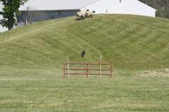 Arbete för fårhund Arkivbilder