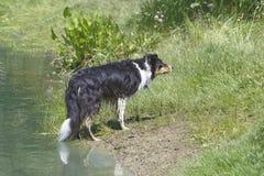 Arbete för fårhund Royaltyfri Bild