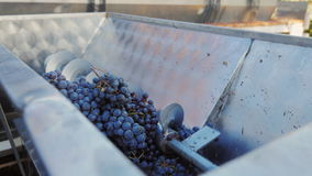 Arbete i vinodlingen Maler röda druvor för vinproduktion lager videofilmer
