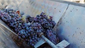 Arbete i vinodlingen Maler röda druvor för vinproduktion arkivfilmer
