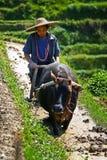 arbeten för rice för kinesiskt bondefält hårda Arkivfoton