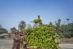 Arbeten laddar till uppsamlingsskåpbilen på gröna bananer Arkivfoton