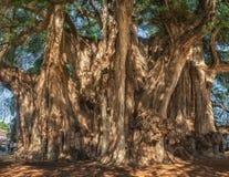 Arbol del Tule, δέντρο κυπαρισσιών Montezuma σε Tule Oaxaca, Μεξικό Στοκ φωτογραφία με δικαίωμα ελεύθερης χρήσης