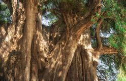 Arbol del Tule, δέντρο κυπαρισσιών Montezuma σε Tule Oaxaca, Μεξικό Στοκ εικόνες με δικαίωμα ελεύθερης χρήσης