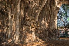 Arbol del Tule, кипарис Montezuma в Tule Оахака, Мексика Стоковые Изображения