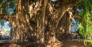 Arbol del Tule, albero di cipresso di Montezuma in Tule Oaxaca, Messico fotografia stock
