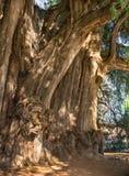 Arbol del Tule, albero di cipresso di Montezuma in Tule Oaxaca, Messico immagine stock libera da diritti