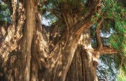 Arbol del Tule, albero di cipresso di Montezuma in Tule Oaxaca, Messico immagini stock libere da diritti