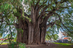 Arbol del Tule, a giant sacred tree in Tule, Oaxaca, Mexico Royalty Free Stock Image