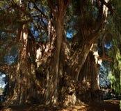 Arbol del Tule, Montezuma-cipresboom in Tule Oaxaca, Mexico royalty-vrije stock afbeeldingen