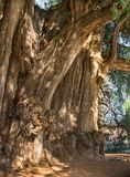 Arbol Del Tule, Montezuma cyprysowy drzewo w Tule Oaxaca, Meksyk Obraz Royalty Free