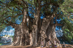Arbol del tule tree. The thickest tree in the world Stock Images