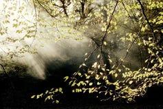 Arbolado con la niebla imágenes de archivo libres de regalías