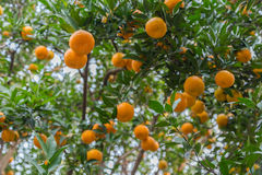 Arboleda anaranjada madura Imágenes de archivo libres de regalías