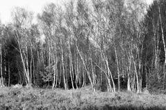 Arboleda brillante del abedul con el helecho y la hierba, paisaje abierto del campo Imagen de archivo libre de regalías